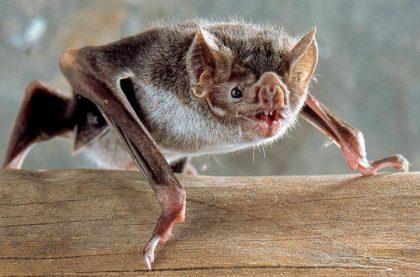 CAZMA: Se confirmó un caso de rabia positiva en un murciélago